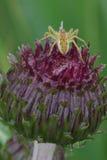 Aranha no cardo Foto de Stock