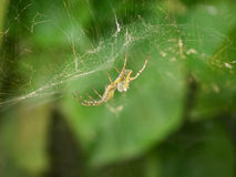 Aranha no macro da Web com fundo verde Fotografia de Stock Royalty Free