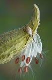 Aranha no milkweed Foto de Stock