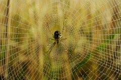 A aranha no orvalho cobriu o Web Imagem de Stock