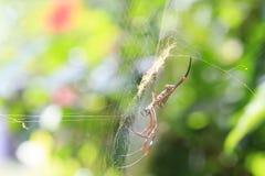 Aranha no spiderweb foto de stock