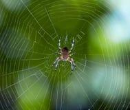 Aranha no Web Foto de Stock Royalty Free