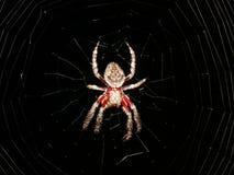 Aranha no Web Imagens de Stock Royalty Free