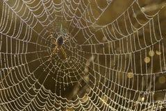Aranha no Web com orvalho. Imagem de Stock