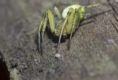 Aranha nova na superfície de madeira Foto de Stock