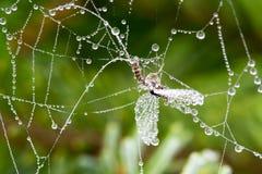 Aranha otorrinolaringológica Fotografia de Stock