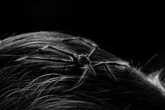 Aranha peludo Imagens de Stock