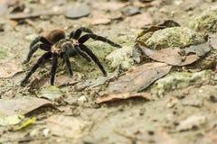 Aranha peludo na terra imagem de stock