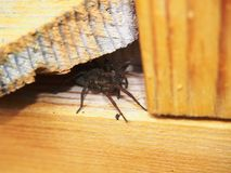 A aranha preta senta-se em uma superfície de madeira artrópode foto de stock royalty free