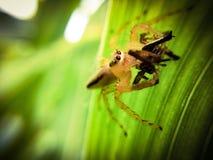 Aranha que come a aranha imagem de stock