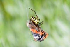 Aranha que come a borboleta Imagens de Stock