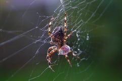 Aranha que come a joaninha Foto de Stock