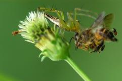 Aranha que come uma abelha Fotografia de Stock