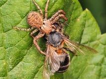 Aranha que come uma abelha Imagem de Stock