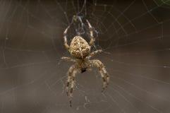 Aranha que come uma mosca Fotos de Stock Royalty Free