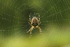 Aranha que faz um Web Fotografia de Stock Royalty Free