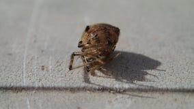 Aranha que gira sobre seus pés e que sae do quadro video estoque