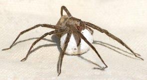 Aranha que protege seu saco do ovo Foto de Stock