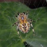 Aranha que senta-se em sua Web Fotos de Stock Royalty Free