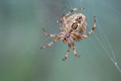 Aranha que senta-se em um cobweb Fotografia de Stock