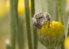 Aranha que senta-se na flor Imagens de Stock Royalty Free