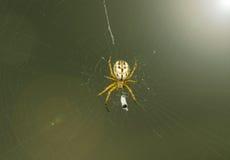 Aranha que senta-se na Web Fotos de Stock Royalty Free