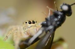 Aranha que suga uma mosca - parte dianteira fotografia de stock