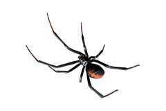 Aranha, Redback ou viúva preta, isolados no branco fotografia de stock