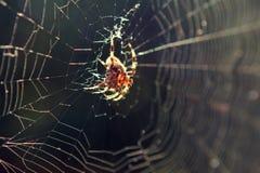 Aranha retroiluminada na Web Foto de Stock