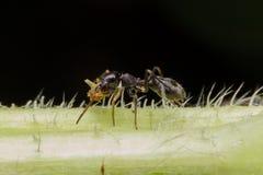 Aranha simulada da formiga na folha verde fotografia de stock royalty free