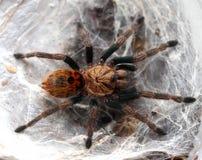 Aranha-tarântula bonita em sua toca foto de stock royalty free