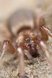 Aranha à terra furtiva (Gnaphosidae) Imagem de Stock