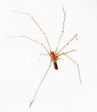 Aranha transparente no branco Fotos de Stock Royalty Free