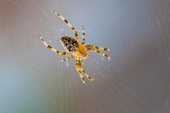 Aranha transversal Imagem de Stock