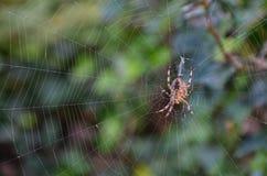 Aranha transversal em seu Web Imagens de Stock Royalty Free
