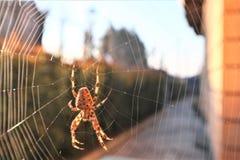 Aranha transversal europeia na Web fotografia de stock royalty free