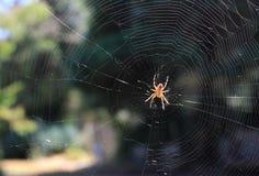 Aranha transversal & Web de Orbweaver Foto de Stock Royalty Free