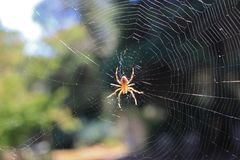 Aranha transversal & Web de Orbweaver Foto de Stock
