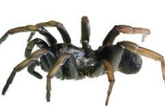 Aranha - Trapdoor comum de Brown, Arbanitis gracilis Foto de Stock