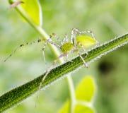 Aranha verde Imagem de Stock