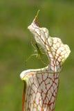 Aranha verde do lince na planta de jarro Imagem de Stock