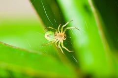 A aranha verde senta-se na Web e nas esperas para a rapina imagens de stock royalty free