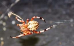 Aranha vermelha Fotos de Stock Royalty Free