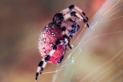 Aranha vermelha Imagem de Stock Royalty Free