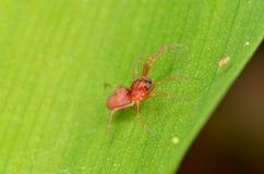 Aranha vermelha de Clubiona Foto de Stock Royalty Free