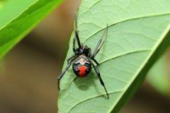 Aranha vermelha-para trás da viúva fotos de stock royalty free
