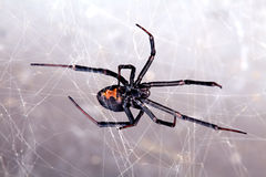 Aranha, Vermelha-para trás, Lacrodectus Hasselti fotografia de stock royalty free