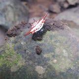 Aranha vermelha pequena Foto de Stock