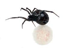 Aranha, viúva preta, fêmea que guarda seu e Foto de Stock