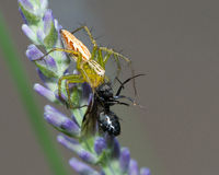 Aranha - vida e morte Fotografia de Stock